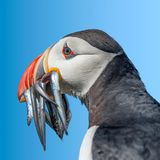 North Atlantic puffins at Faroe island Mykines. Late summer time, isolated at blue gradient background royalty free stock photos