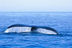 North Atlantic Right Whale Royalty Free Stock Image