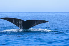 North Atlantic Right Whale Stock Images