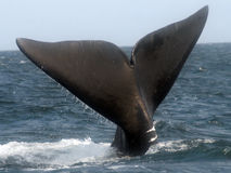 North Atlantic right whale Royalty Free Stock Photography