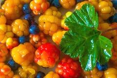 North berries Stock Image