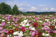 North Carolina Cosmos Flowers in September. Ashe County, North Carolina, field of cosmos flowers landscape in horizontal format with copy space Royalty Free Stock Images