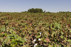 North Carolina Cotton Field Stock Image