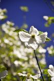 North Carolina Dogwood Royalty Free Stock Photography