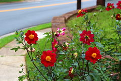 North Carolina red wildflower. North Carolina street corner wildflower royalty free stock photos