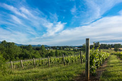 North Carolina Vineyard royalty free stock image