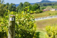 North Carolina Vineyard Royalty Free Stock Photo
