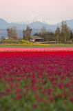 North Cascade Mountain Multi Color Skagit Valley Tulip Flowers Royalty Free Stock Images