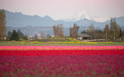 North Cascade Mountain Multi Color Skagit Valley Tulip Flowers Stock Photo