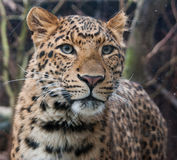 North china leopard Stock Photography