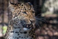 North chinese leopard close up Royalty Free Stock Image