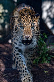 North chinese leopard close up Stock Photos