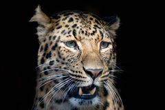 North chinese leopard close up Stock Image
