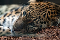 North chinese leopard close up Stock Photo