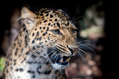 North chinese leopard close up Royalty Free Stock Images