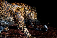 North chinese leopard close up Royalty Free Stock Photography