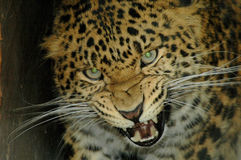North Chinese leopard (Panthera pardus japonensis). Threating leopard shows his teeth Royalty Free Stock Images