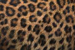 North-Chinese leopard (Panthera pardus japonensis) fur texture. Royalty Free Stock Photography