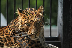 North-Chinese leopard (Panthera pardus japonensis). Royalty Free Stock Photography