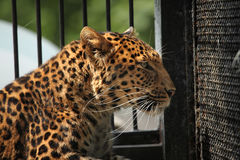 North-Chinese leopard (Panthera pardus japonensis). Stock Photos