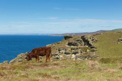 Cow grazing Cornwall coast view towards Boscastle from Tintagel Royalty Free Stock Photography