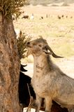 North Cyprus Karpazi - goat in a tree Royalty Free Stock Images