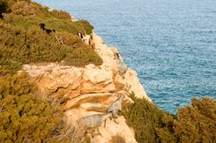 North Cyprus Karpazi - Goats on the coast Stock Images