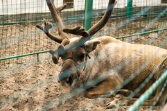 North deer. Relax on a sand Royalty Free Stock Photography