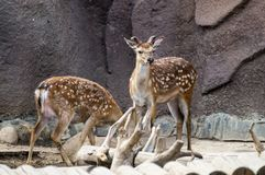 North deers. Eat beside the rock Stock Images