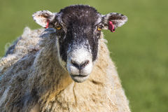 North of England Mule Sheep. Head portrait of North of England Mule Sheep ewe staring straight ahead royalty free stock image