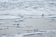 North Ice edge at 82 41.01 degrees North with a polar bear walking in the background. North Ice edge at 82 41.01 degrees North from Svalbard with a polar bear stock photo