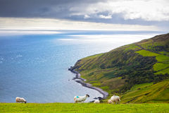 North Ireland Seascape. Group of sheeps in Antrim County, North Ireland Stock Photos