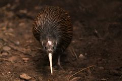 Free North Island Brown Kiwi, Apteryx Mantelli Royalty Free Stock Image - 155192976