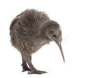 North Island Brown Kiwi, Apteryx mantelli royalty free stock photos