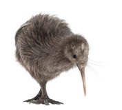 North Island Brown Kiwi, Apteryx mantelli Stock Photo