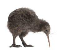 North Island Brown Kiwi, Apteryx mantelli Royalty Free Stock Image