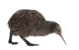 North Island Brown Kiwi, Apteryx mantelli. 5 months old, walking against white background royalty free stock photos