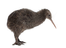 North Island Brown Kiwi, Apteryx mantelli stock images