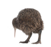 North Island Brown Kiwi, Apteryx mantelli. 5 months old, standing against white background stock images