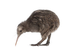 North Island Brown Kiwi, Apteryx mantelli. 5 months old, standing against white background stock photography