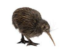 North Island Brown Kiwi, Apteryx mantelli Stock Image