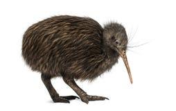North Island Brown Kiwi, Apteryx mantelli Royalty Free Stock Photo