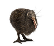 North Island Brown Kiwi, Apteryx mantelli Stock Photography
