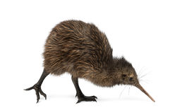 North Island Brown Kiwi, Apteryx mantelli, 3 months old. Isolated on white stock images
