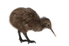 North Island Brown Kiwi, Apteryx mantelli, 3 months old. Isolated on white royalty free stock photography