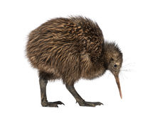 North Island Brown Kiwi, Apteryx mantelli, 3 months old royalty free stock images