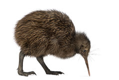 North Island Brown Kiwi, Apteryx mantelli, 3 months old. Isolated on white stock photography