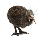North Island Brown Kiwi eating an Earthworm Apteryx mantelli. Isolated on white royalty free stock images
