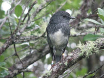 North Island Robin Stock Images