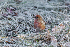 North the linnet Royalty Free Stock Photos